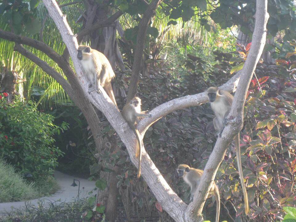Monkeys at The Crane
