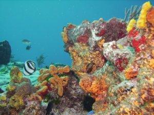 Barbados Coral Reef