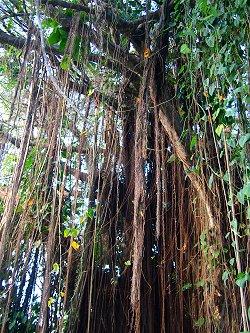bearded-fig-tree-barbados